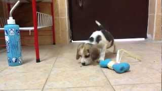 6 Weeks Old Beagle Puppy Chasing An Ant!! Cute~~