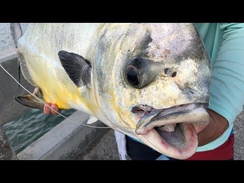 HIGHLY Prized Fish CAPTURED...Catch Clean Cook (Bridge Fishing for Permit) thumbnail