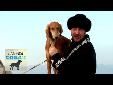 Тазы (Казахские борзые). Планета собак 🌏 Моя Планета