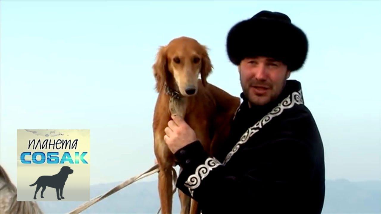 Тазы (Казахские борзые). Планета собак ???? Моя Планета