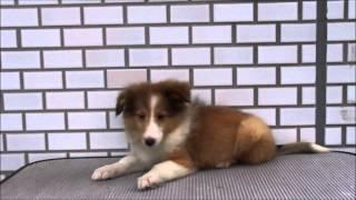 シェットランド・シープドッグ(シェルティー、シェルティ)の子犬を販...