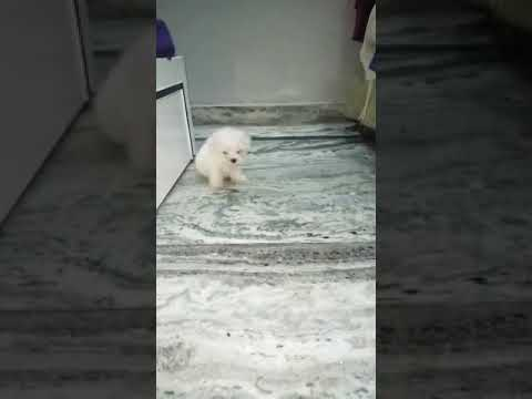 Maltese dog male and female puppies for sale in Delhi Dwarka petshop at very wholesale rate