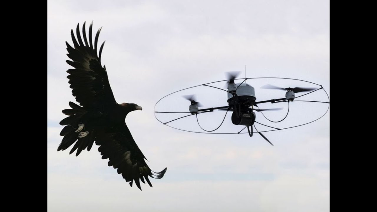 Holland Training EAGLES To Take Out Drones