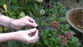 Collecting Echinacea seeds