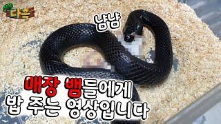 (못보시는분은 뒤로가기) 매장 뱀들에게 먹이주는날입니다