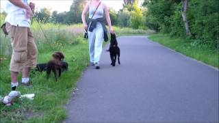 Flat Coated Retriever Training - 4,5 Months Puppy