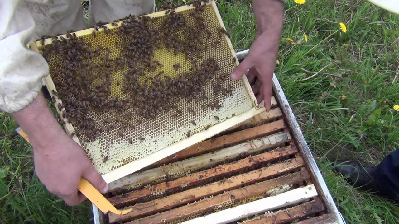 Главное что пчелы жизненные и медоносные. Голландский бакфаст буду в этом году тестировать. Поэтому посмотрим как голландцы по миролюбию.