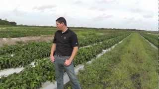 Markon Live From The Fields, Green Bell Peppers, December 13, 2012, Immokalee, Florida