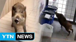 日, 학교로 돌진한 멧돼지에 학생들 '혼비백산' / YTN
