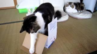 箱に興味津々のはーちゃん、箱に入ると思ったら...