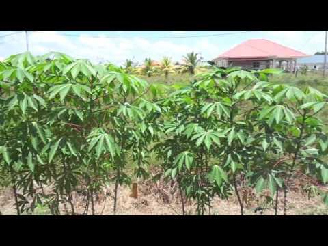 Suriname home backyard