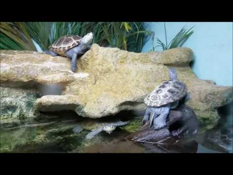 Diamondback Terrapin Turtles at the Norwalk Maritime Aquarium - December 18, 2016