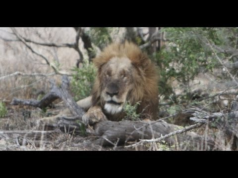 Lions Eating A Rhino Kill - 28th September 2012 - Latest Sightings