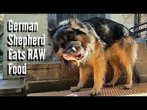 How To Feed RAW Food To A German Shepherd - K9 Mukbang