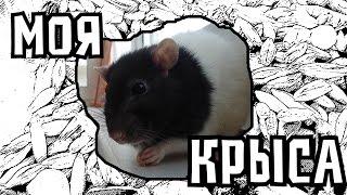 Моя Крыса| Уход, Корм, Клетка| Домашнии Крысы