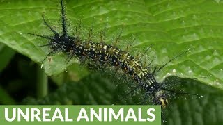 Caterpillar defends itself with venomous spines