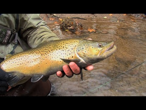 Outdoor Journal - Oak Orchard River Brown Trout