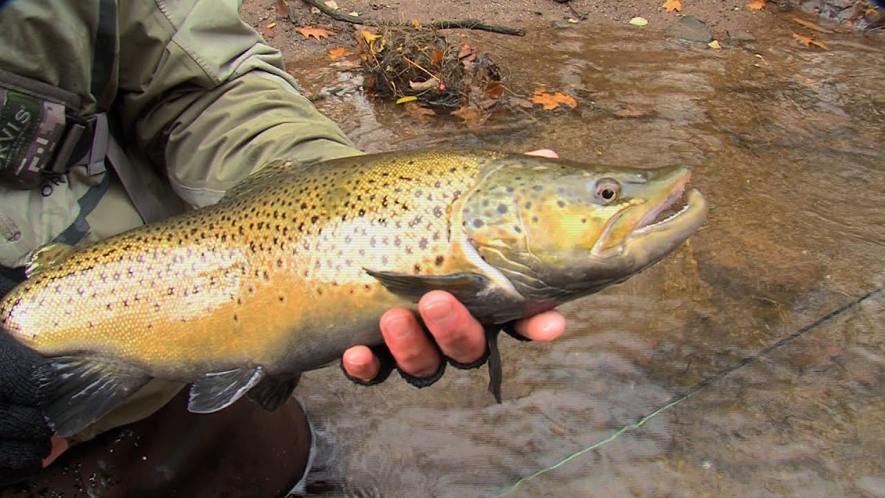 Outdoor journal oak orchard river brown trout youtube for Oak orchard fishing report