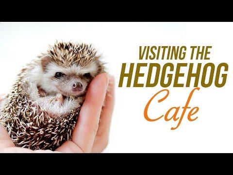 Japan's Newest Animal Cafe! The Hedgehog Cafe