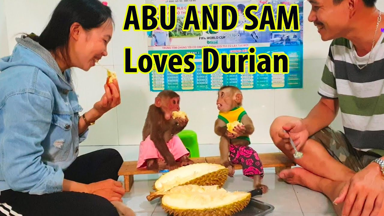 Baby monkey Sam and Monkey Abu eat The Big Durian Fruit Extremely Hilarious.