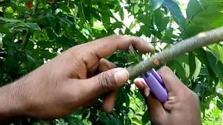 লিচু গাছে কলম করার পদ্ধতি । গুটি কলম করার নিয়ম ~ How to Air Layer in Lychee Tree