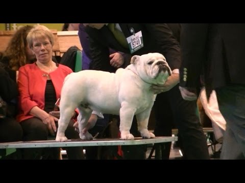 English Bulldog in Crufts 2017 B