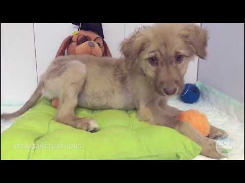 Full recovery of a stray puppy with skin diseases - Little Lahijan