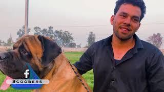 English Mastiffs Gang ❤ | English Mastiff Dog Breed | Giant Dog Breed | Dog Kennel | Scoobers