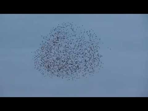 15000 strong  Starling murmuration Tubney Fen Cambridgeshire 19Nov15 412p