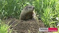 Controlling Woodchucks/Groundhogs