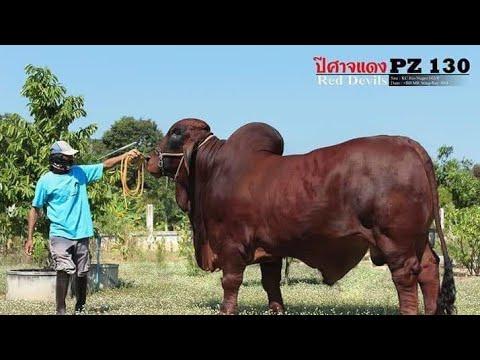 สุดยอดพ่อพันธุ์วัวบราห์มัน เจ้าปีศาจแดง PZ130 TJ9 ฟาร์ม อ.รัตนบุรี จ.สุรินทร์