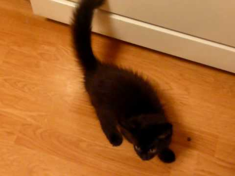 black maine coon kittens for sale texas