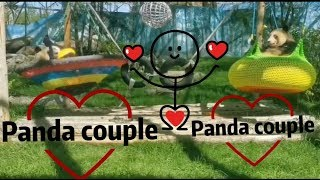 Funny animals/the sweetest panda couple vedio compilation/fat pets