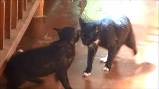 CAT FIGHT, CATS FIGHTING, CATS ARGUING, ANIMALS FIGHTING, AS NATURE INTENDED thumbnail