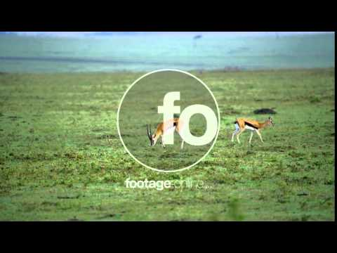 Gazelle Wildlife footage 014998 4k