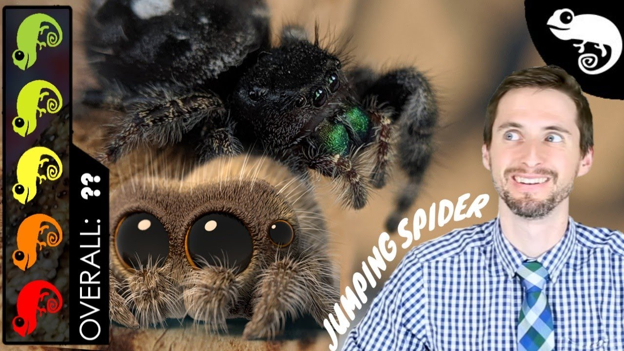 Lucas The Spider - Jumping Spider, The Best Pet Arachnid?