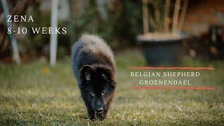 Zena | Belgian Shepherd Groenendael Puppy | 810 Weeks