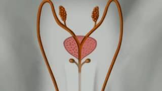 Анатомия Человека   Мужские половые органы