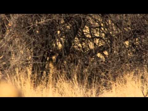 African lion hunting video