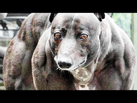 Genetically engineered extra muscular dogs - Chinese scientists