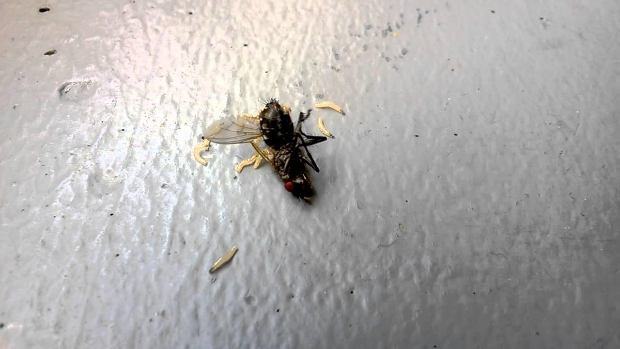 Maden Fliegen