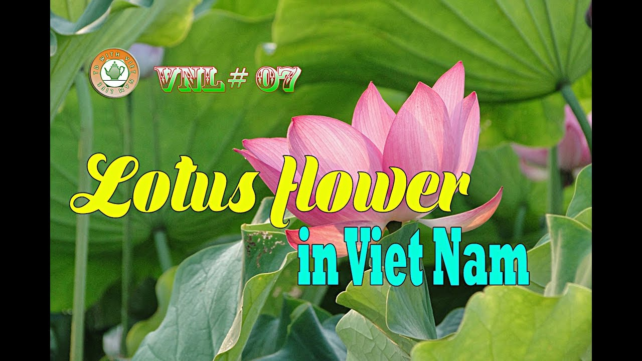 Lotus flower in viet nam vnl 07 youtube lotus flower in viet nam vnl 07 mightylinksfo