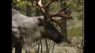 Лесной северный олень, Wild Forest Reindeer (RUS)
