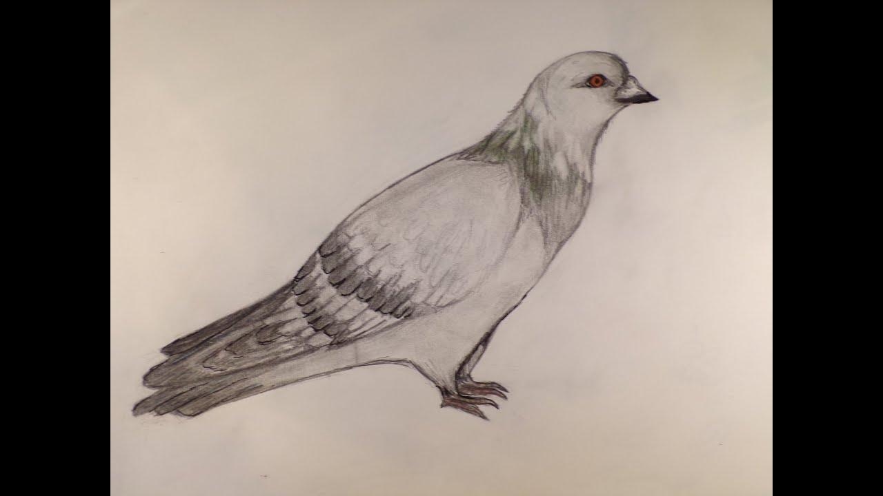 Dessin Dessiner Un Pigeon Youtube