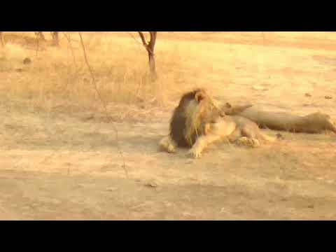 Amazing forest safari #video ###gir forest lion video... Hd 2018