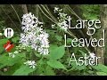 Large leaved Aster: Edible & Medicinal
