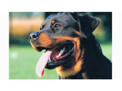 Pros Cons Of A Rottweiler Dog Breeds Youtube