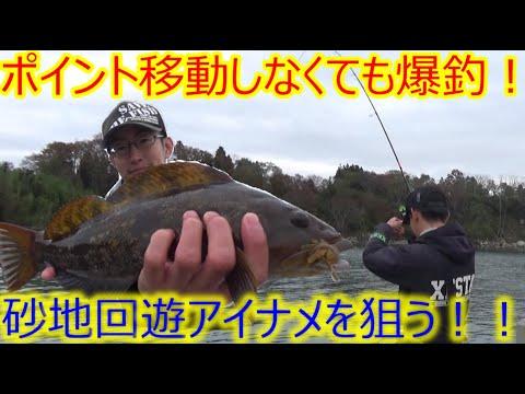 【爆釣!】実釣1時間!ポイントを移動しなくても爆釣な砂地回遊アイナメの攻略!