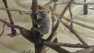 This video shows koala bear at Tama Zoo. The koala is very active a...