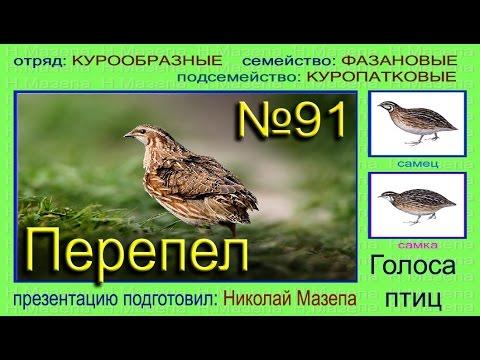 фото птицы перепёлка
